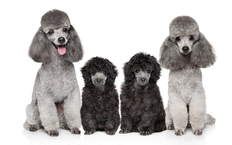 トイプードルシルバーの成犬と子犬