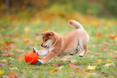 ボール遊びをする豆柴