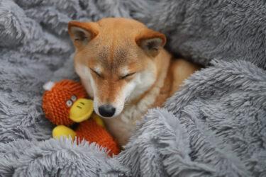 オモチャと寝る豆柴