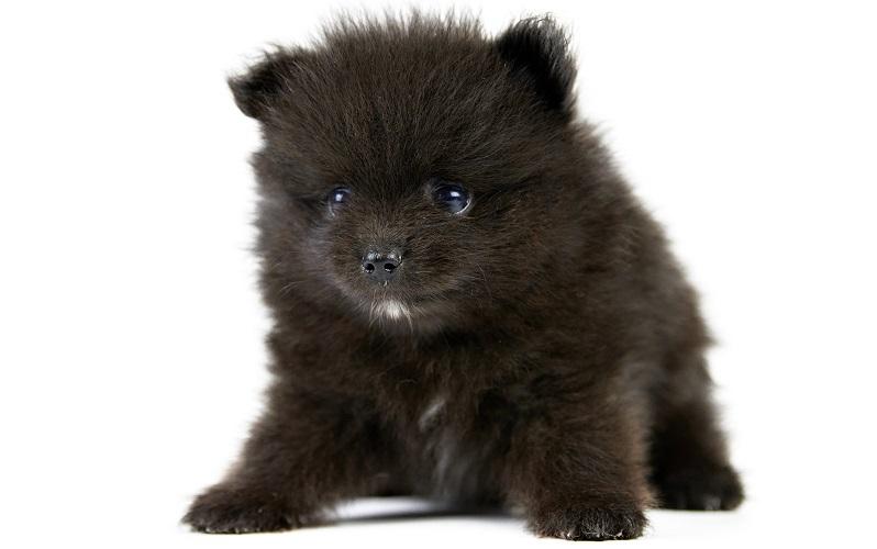 子熊のような黒ポメラニアン