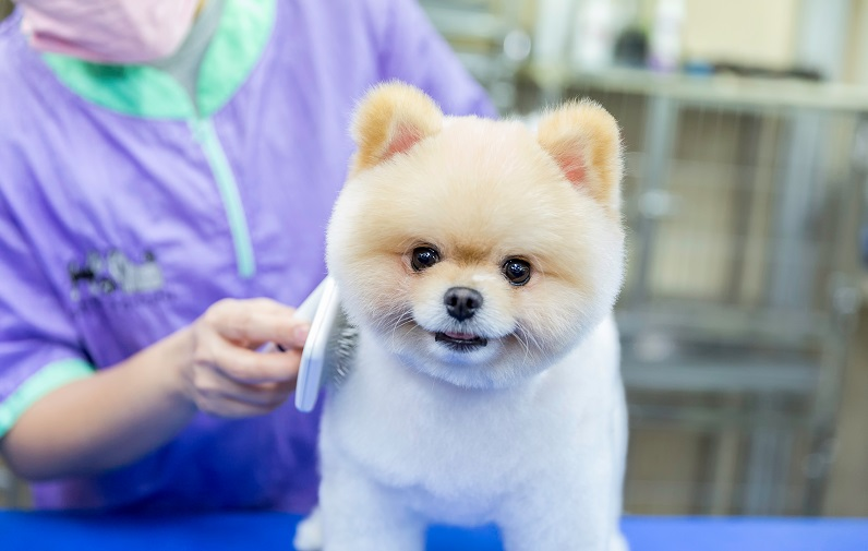 ポメラニアンの柴犬カットは抜け毛が少ない