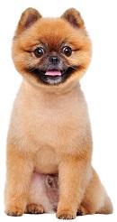 ポメラニアンの柴犬カット