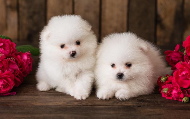 ポメラニアンのホワイトの子犬
