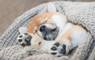 寝る豆柴2