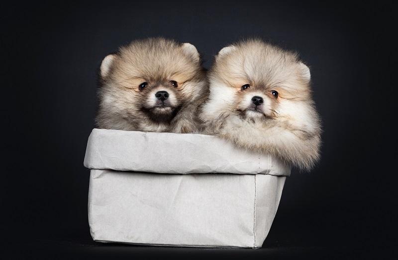 ウルフセーブルのポメラニアンの子犬