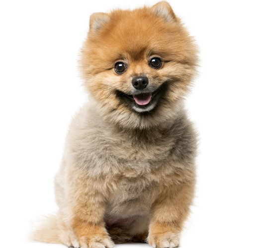 柴犬カットにしたポメラニアンのウルフセーブル