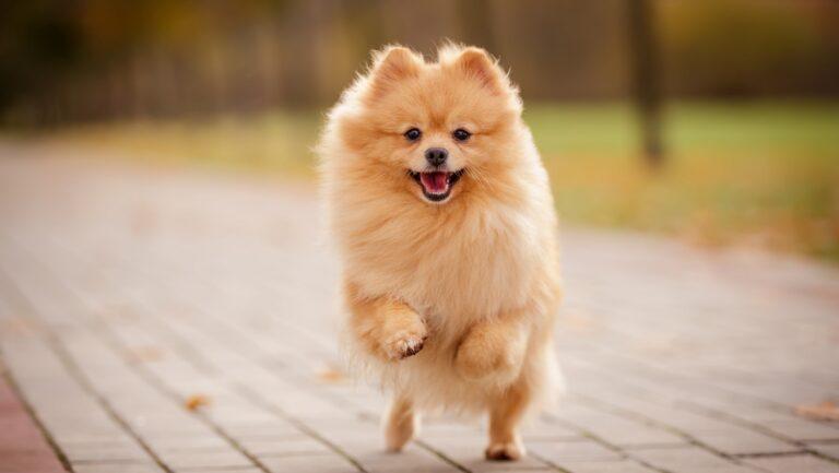 ポメラニアンの成犬の大きさは?体重の変化や肥満予防のコツを解説
