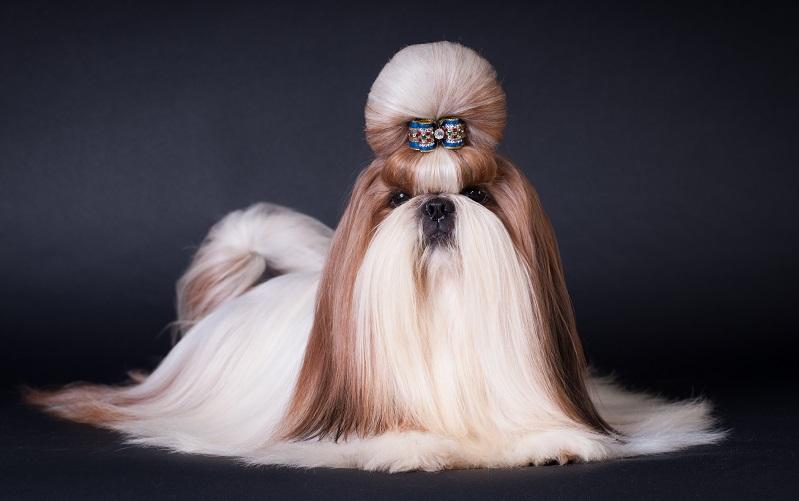 シーズーのチャンピオン犬