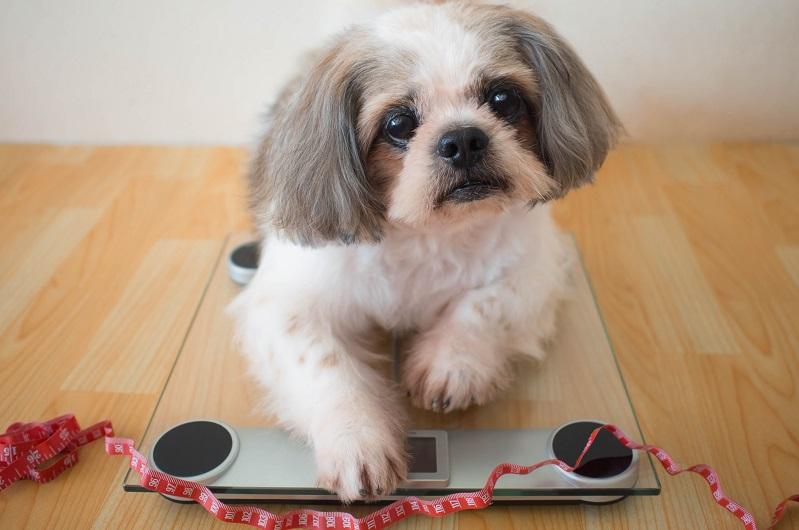体重を測るシーズー