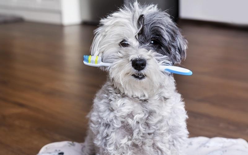 歯ブラシをくわえたシーズー